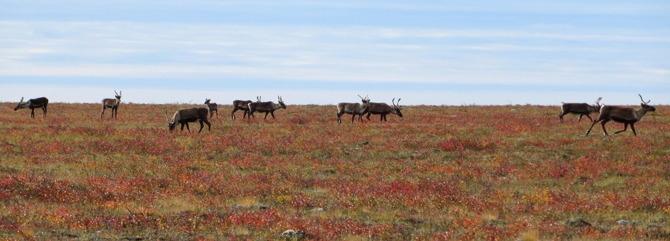 MB, CW caribou on tundra,